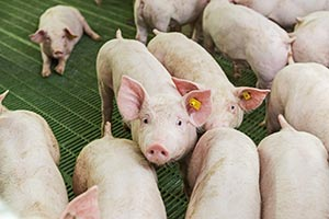 African Swine Fewer (ASF) in Delmas