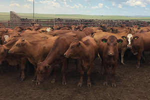 Traceability system on track, says SA Feedlot Association