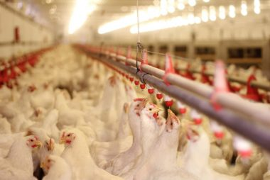 SA poultry body fights for the wellbeing of an entire value chain